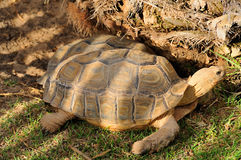 Tortoises. Two tortoises in park area lying side by side, one is sleeping Royalty Free Stock Image