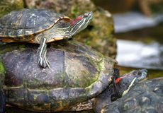 Tortoises on waters edge Royalty Free Stock Photos
