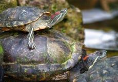 Tortoises on waters edge Royalty Free Stock Photos