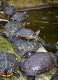 Tortoises on waters edge Stock Photography