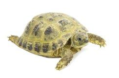 Tortoises on a white  background Royalty Free Stock Photos
