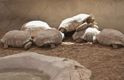 Tortoises in the zoo. A group of tortoises in the zoo gathering to enjoy the sun warmth Royalty Free Stock Photography
