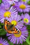 Tortoisesehell butterfly on Aster. Small tortoisesehell butterfly on China aster flowers in summer Royalty Free Stock Photo