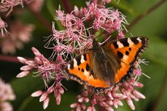 tortoiseshell бабочки малый Стоковое Изображение