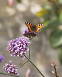 tortoiseshell бабочки малый Стоковое Изображение RF