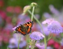 tortoiseshell бабочки стоковые фотографии rf