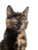 tortoiseshell котенка стоковые изображения rf