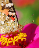 Tortoiseshell. Close-up of tortoiseshell butterfly sitting on a pink flower stock images