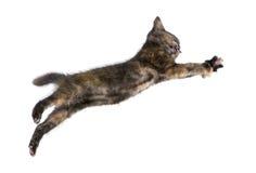 tortoiseshell 2 месяцев котенка Стоковые Фотографии RF