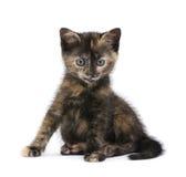 tortoiseshell 2 месяцев котенка Стоковое Фото