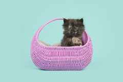 Tortoiseshell baby cat kitten in a pink basket on a turquoise background Stock Photography