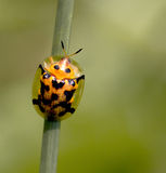 Tortoiseshell Beetle Stock Photography
