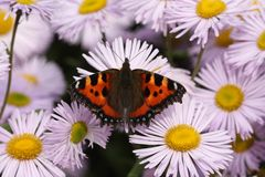 Tortoiseshell Butterfly Royalty Free Stock Photos