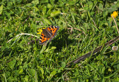 Tortoiseshell butterfly Stock Images