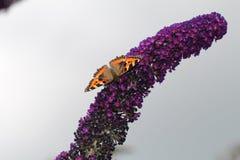 Tortoiseshell Butterfly on buddleia. Tortoiseshell butterfly resting on a buddleia flower Royalty Free Stock Photos