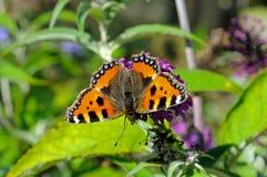 Tortoiseshell Butterfly on Buddleja. Royalty Free Stock Photography