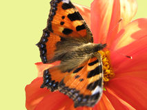 Tortoiseshell butterfly on a dahlia Royalty Free Stock Photography