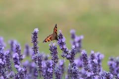 Tortoiseshell Butterfly. A tortoiseshell butterfly feeding on lavender flowers Royalty Free Stock Photo
