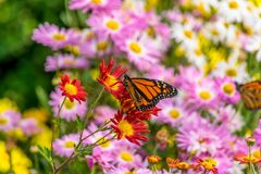 Monarch Butterfly. Flying a round the city stock photo
