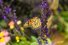 Monarch Butterfly. Flying a round the city stock photography