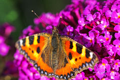 A Tortoiseshell butterfly on a Lilac Bloom Royalty Free Stock Images