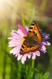Tortoiseshell butterfly on marigold flower Royalty Free Stock Photography