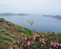 Tortoiseshell Butterfly on Santorini, Greece. A tortoiseshell butterfly flies over spring flowers on the cliff's edge on Santorini, Greece Stock Images