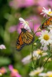 Monarch Butterfly. Flying a round the city stock images