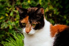 Tortoiseshell calico cat outside in the garden. Young tortoiseshell cat playing outside in the garden royalty free stock photo