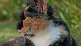 Tortoiseshell or calico cat portrait stock footage