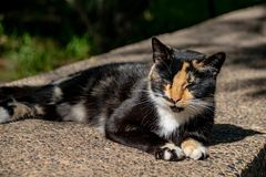 Tortoiseshell calico cat relaxing in sunshine royalty free stock images