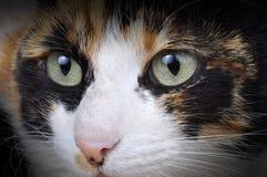 Tortoiseshell Cat. Stock Image