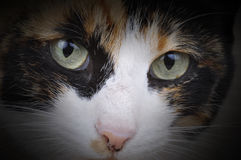 Tortoiseshell Cat. A female tortoiseshell cat, called Mia. Photographed in a studio stock photography