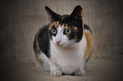 Tortoiseshell Cat. Royalty Free Stock Image