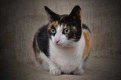 Tortoiseshell Cat. Royalty Free Stock Image