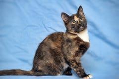 Tortoiseshell cat Stock Image