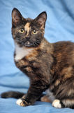 Tortoiseshell cat Stock Images