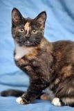 Tortoiseshell cat Stock Images