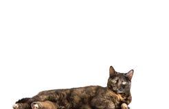 Tortoiseshell cat royalty free stock image