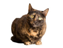 Tortoiseshell cat. Closeup of tortoiseshell cat standing over white background stock photography