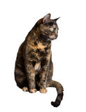 Tortoiseshell cat. Closeup of tortoiseshell cat standing over white background royalty free stock photo