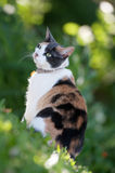 Tortoiseshell Cat. Cute green eyed Tortie or Tortoiseshell Cat on the grass royalty free stock image