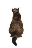 Tortoiseshell cat back sitting. On white background stock photography