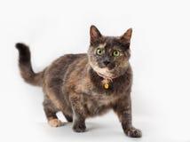 Tortoiseshell cat Stock Photography