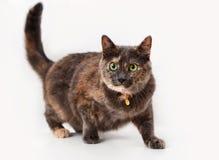 Tortoiseshell cat Stock Photo