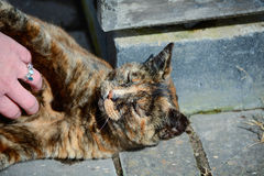 Tortoiseshell cat being stroked Royalty Free Stock Photos