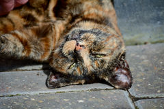 Tortoiseshell cat being stroked Royalty Free Stock Images