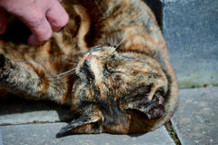 Tortoiseshell cat being stroked Royalty Free Stock Image