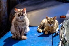 Tortoiseshell Cat With Brown Maine Coon Cat stock photo