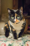 Tortoiseshell cat Stock Photo